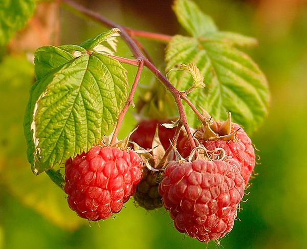 Raspberries Juhanson 2004 Wikimedia Commons